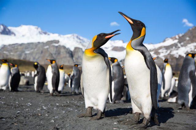 Kind Penguins_South Georgia_Michael Baynes
