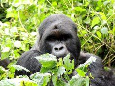 African Destinations - Gorilla