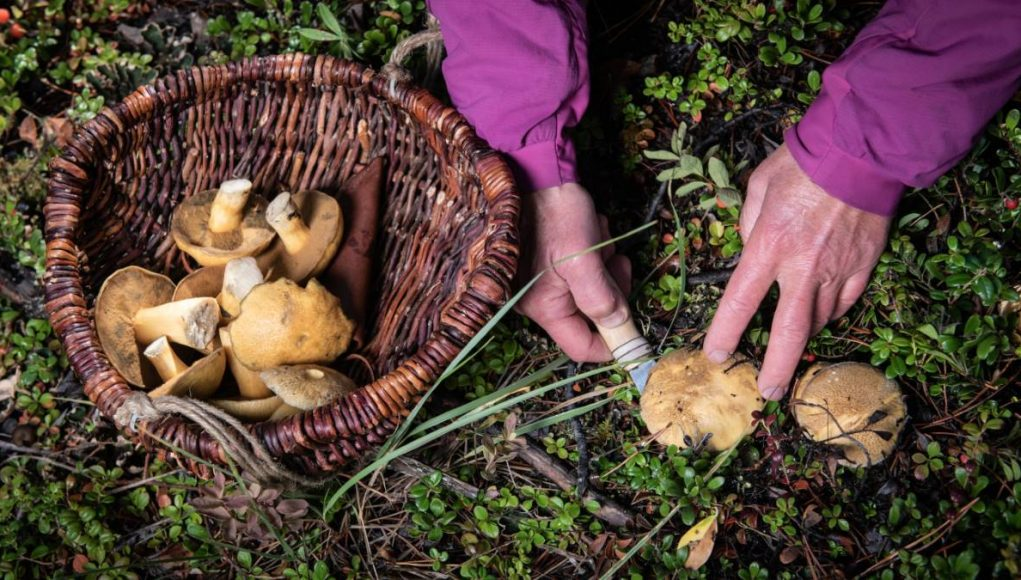 Harvesting wild mushrooms