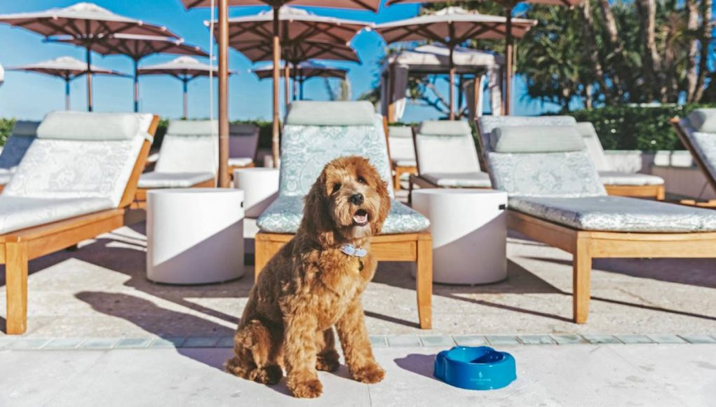 10-month-old Australian Labradoodle