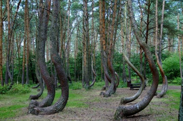 Crooked Forest Krzywy Las Poland Pine Trees Forest